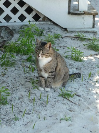 ترانكيليتي باي بيتش فونت هوتل آند ريزورت: One of the resident cats (help with Gecko/Iguana population)