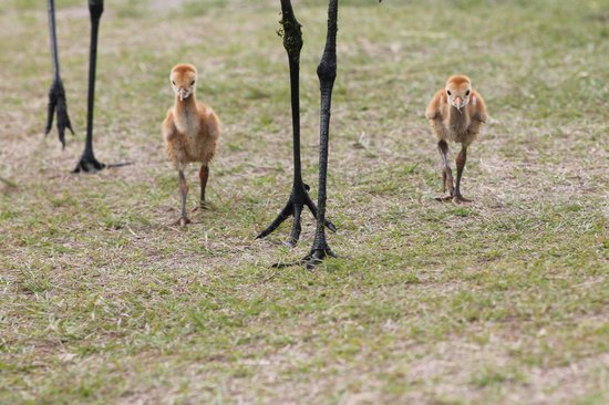 Circle B Bar Reserve: sandhill  crane chicks
