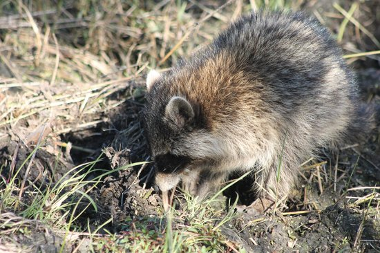 Circle B Bar Reserve: juvenile raccoon