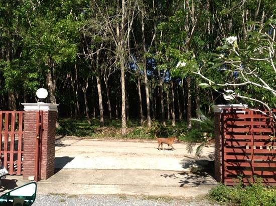 Ao-Nang Bamboo Bungalows: Rubber plantation across d property