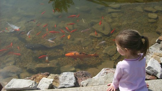 Purina Farms : One of two big koi pond by the outside eating area
