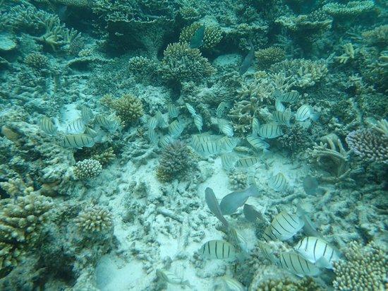 Robinson Club Maldives: coral