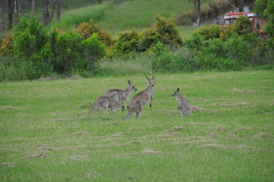 Willow Tree Estate: Kangarros feeding outside/nearby the Summer House