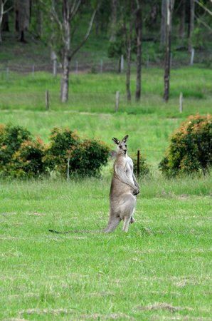 Willow Tree Estate: Local Kangaroos