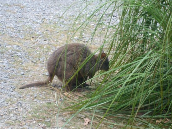 Gowrie Park Wilderness Village: Small native animals, pademelons, hop around in the wild