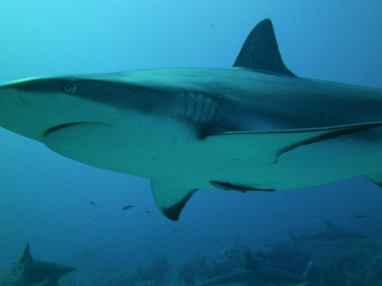 Anthony's Key Resort: Shark Dive
