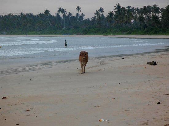 Jagabay Resort: Kuh am Strand