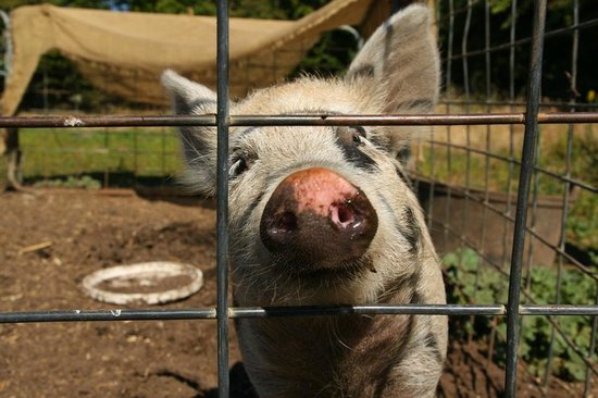 Brickendon Estate: piggy