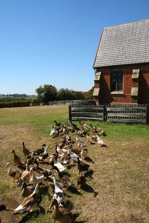 Longford, Australië: ducks