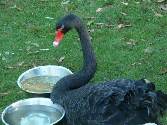 Trowunna Wildlife Park: Black swan