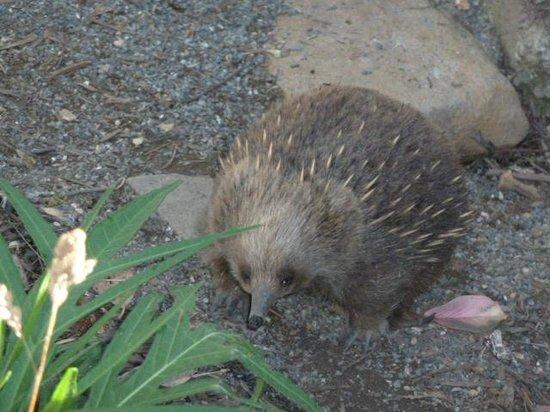 Trowunna Wildlife Park: Echidna
