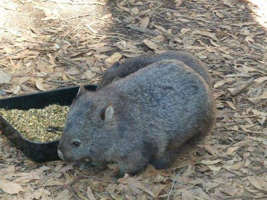 Trowunna Wildlife Park: Wombats