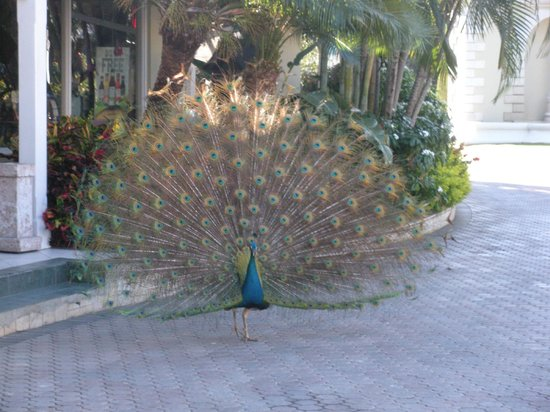 Sandals Royal Caribbean Resort and Private Island: Beautiful peacock