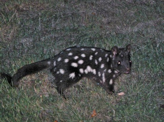 Pepper Bush Adventures - Day Tours:                                     Quoll