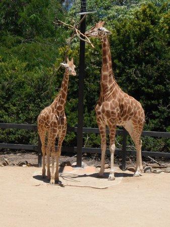 Taronga Zoo: giraffes