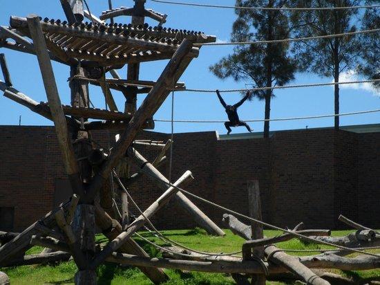 Taronga Zoo: chimps