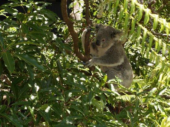 Taronga Zoo: koalas
