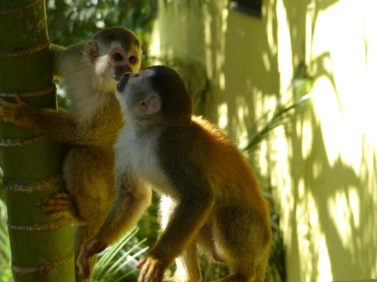 Jungle Creek: squirrel monkeys on villa property