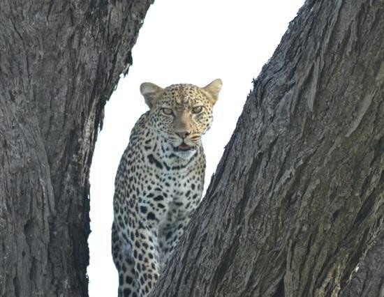 Lemala Ndutu Tented Camp: Leopard in Campnähe