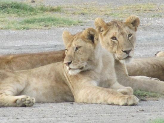 Lemala Ndutu Tented Camp: Löwen im Ndutu