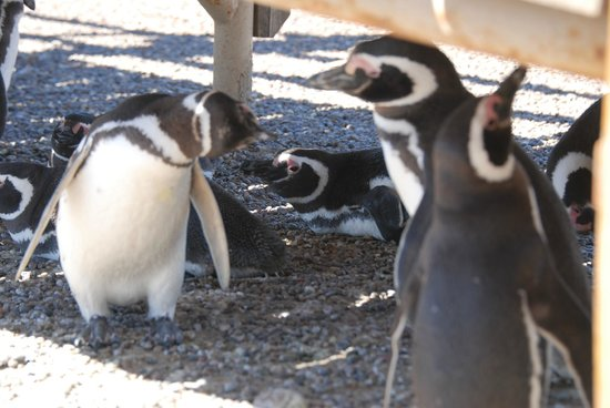 Punta Tombo National Reserve: Penguins in the shade under the stairs