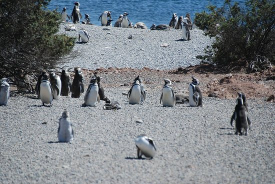 Punta Tombo National Reserve: Penguins returning from a dip in the water