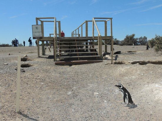 Punta Tombo National Reserve: Penguin crossing the path