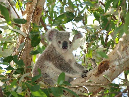 Magnetic Island Bed & Breakfast: Baby koala