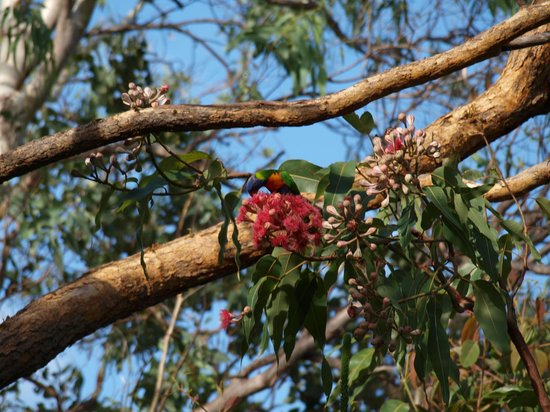 Magnetic Island Bed & Breakfast: Lorikeet sipping nectar
