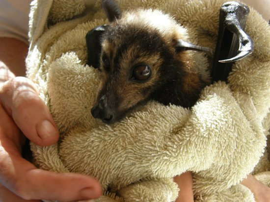 The Bat Hospital Visitor Centre: Baby bat being checked over.