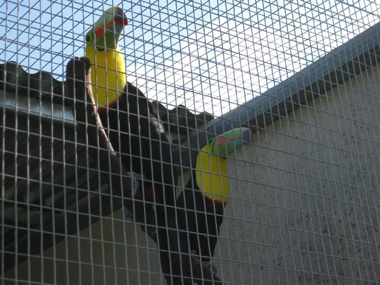 Toucan Rescue Ranch : toucan pair
