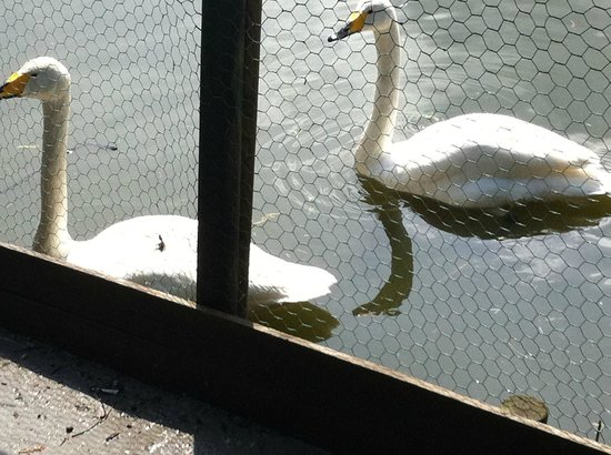 The Natural World Centre, Whisby :                   White swans at Whisby Nature Park