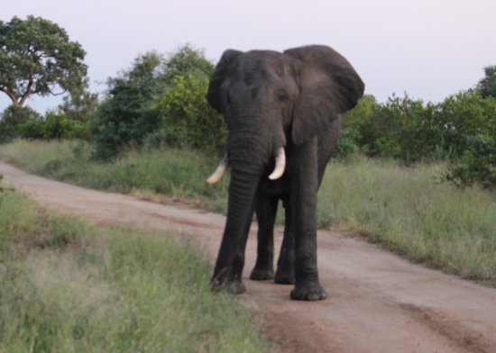 Imbali Safari Lodge: Elephant on Game Drive