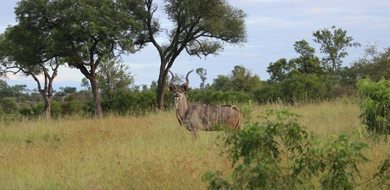 Imbali Safari Lodge: Kudu on Game Drive