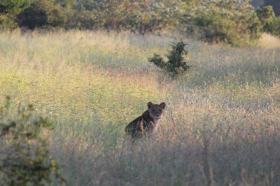 Imbali Safari Lodge: Lion on Game Drive