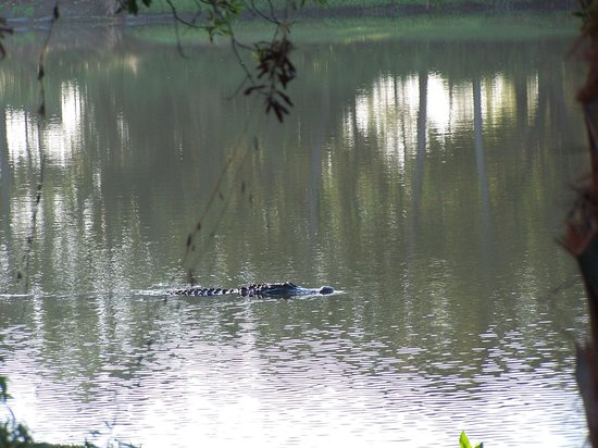 "Trianon Bonita Bay: Alligator in hotel ""lake"""