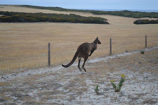 Flour Cask Bay Retreat :                                     Roo on my way to the beach