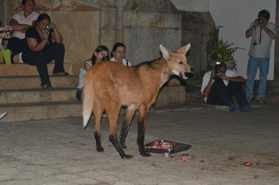 Santuario do Caraca : Lobo Guará