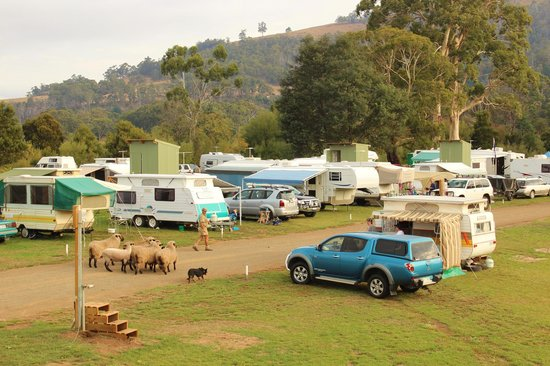 Huon Valley Caravan Park: Badge walking the sheep through the caravan park