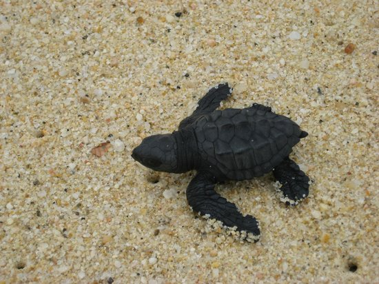 Casa del Mar Golf Resort & Spa : Baby Turtle we helped rescue