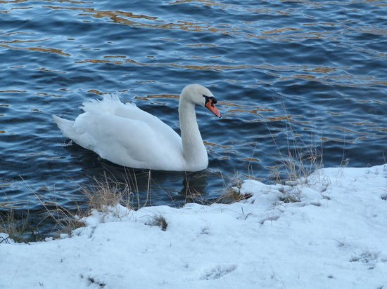 Loch Monzievaird Self Catering Lodges: Swan on the loch