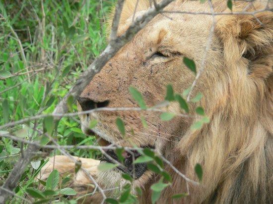 Kambaku Safari Lodge: King of the Jungle