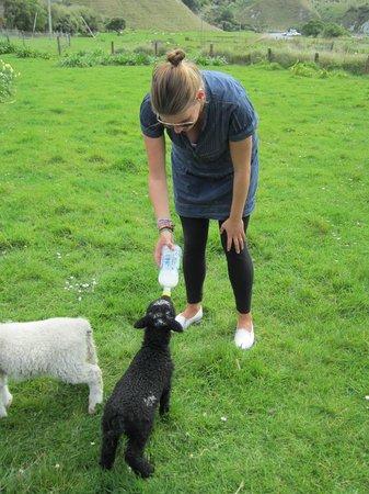The Point Sheep Shearing Show: Feeding The Lambs