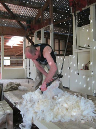 The Point Sheep Shearing Show: Time For A Trim