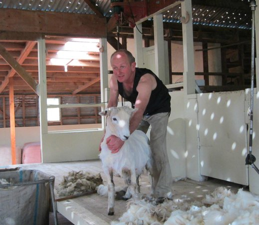 The Point Sheep Shearing Show: All Done
