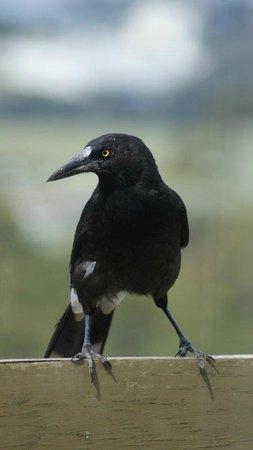 Curious Magpie - Devonport, Tasmania