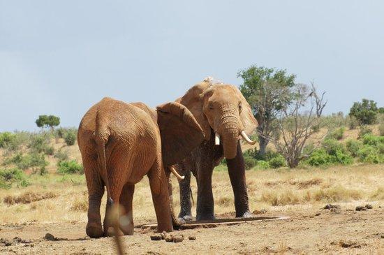 Sentrim Tsavo East: elefante