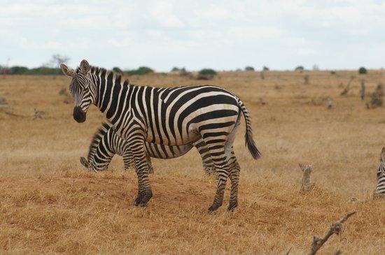 Sentrim Tsavo East: zebra