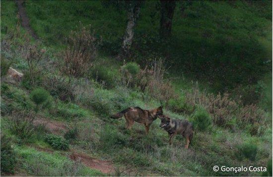 Centro de Recuperação do Lobo Ibérico: Tua e Sabor