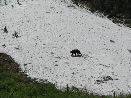 Cascade Canyon: bear
